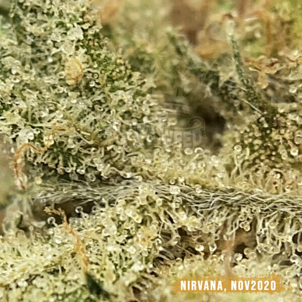 weed delivery North York Nirvana Special